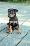 Il cucciolo del Pinscher miniatura Fotografia Stock