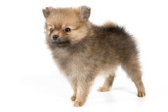 Il cucciolo del spitz-cane Immagini Stock Libere da Diritti