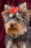 Il cucciolo del terrier Fotografie Stock