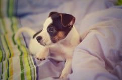 Il cucciolo del terrier di Jack Russel sta trovandosi sul letto Fotografia Stock Libera da Diritti