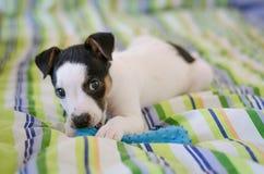 Il cucciolo del terrier di Jack Russell sta trovandosi sul letto con le tele variopinte Immagine Stock