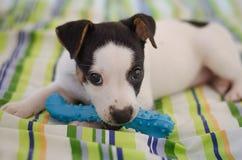 Il cucciolo del terrier di Jack Russell sta trovandosi sul letto con le tele variopinte Fotografia Stock Libera da Diritti