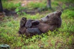 Il cucciolo dell'orso bruno selvaggio fotografie stock