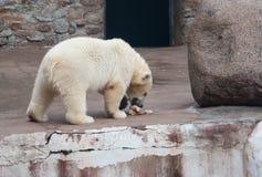 Il cucciolo dell'orso polare mangia la carne Fotografia Stock Libera da Diritti