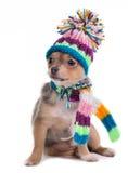 Il cucciolo della chihuahua si è vestito per tempo freddo Fotografie Stock Libere da Diritti