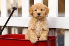 Il cucciolo della miscela del barboncino si siede in vagone rosso davanti al recinto bianco Fotografie Stock