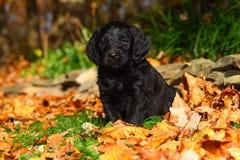 Il cucciolo della miscela nera del barboncino e di labrador retriever si siede in foglie di autunno Fotografia Stock