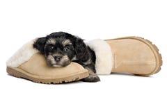 Il cucciolo di cane havanese sveglio sta aspettando il suo proprietario Fotografia Stock