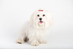 Il cucciolo di cane maltese del bello bichon felice sta sedendosi il frontale fotografia stock