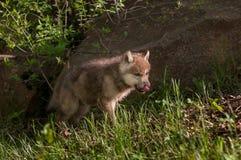 Il cucciolo di Grey Wolf (canis lupus) lecca il naso Fotografia Stock
