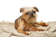 Il cucciolo di grifone di Bruxelles si trova sulla coperta fotografia stock libera da diritti