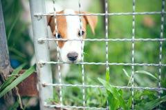 Il cucciolo di Jack Russell nell'azienda agricola dell'animale domestico sul campo di erba verde, selecti fotografie stock libere da diritti