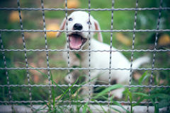 Il cucciolo di Jack Russell nell'azienda agricola dell'animale domestico sul campo di erba verde, selecti fotografia stock