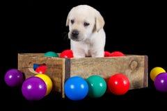 Il cucciolo di Labrador si siede in scatola di legno con le palle colourful Immagine Stock