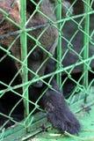 Il cucciolo di orso in una gabbia ha tirato una zampa per sollevare un ramoscello immagini stock