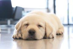 Il cucciolo di sonno Fotografie Stock Libere da Diritti