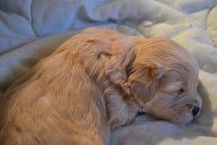 Il cucciolo di sonno fotografia stock
