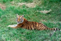 Il cucciolo di tigre triste si trova sull'erba immagini stock