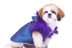 Il cucciolo di tzu di Shih si è vestito come un protettore Fotografia Stock Libera da Diritti