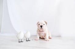 Il cucciolo di un bulldog e due piccoli uccellini si siedono su un pavimento nella stanza bianca Fotografia Stock