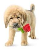 Il cucciolo divertente con colore rosso è aumentato Immagini Stock