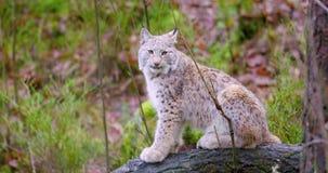 Il cucciolo europeo del gatto del lince si siede nella foresta di autunno stock footage