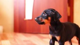 Il cucciolo gira ed esamina la macchina fotografica Bello cane nero stock footage
