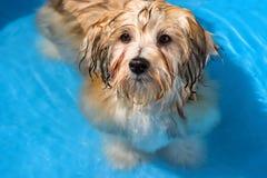 Il cucciolo havanese sveglio sta bagnando in uno stagno di acqua blu Fotografia Stock Libera da Diritti