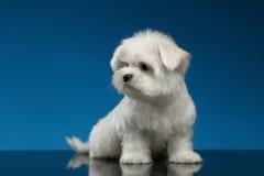 Il cucciolo maltese bianco sveglio si siede e guardando a sinistra, blu immagini stock libere da diritti