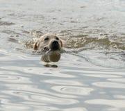 Il cucciolo nuota da solo in lago Immagini Stock Libere da Diritti