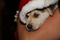 Il cucciolo sveglio con gli occhi azzurri interamente si è vestito per l'inverno e la festa di Natale Fotografia Stock Libera da Diritti
