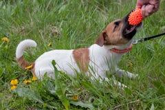 Il cucciolo sveglio del terrier di russell della presa sta giocando con il suo proprietario Giocattolo del cane fotografia stock libera da diritti