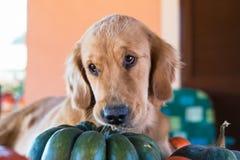 Il cucciolo sveglio di golden retriever morde una zucca fotografia stock libera da diritti