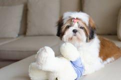 Il cucciolo sveglio di tzu dello shih sta sedendosi immagine stock