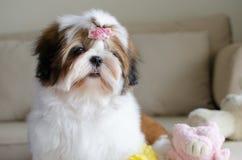 Il cucciolo sveglio di tzu dello shih sta sedendosi immagini stock libere da diritti