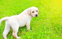 Il cucciolo sveglio labrador retriever del cane sta camminando sull'erba in un giorno di estate soleggiato Fotografia Stock Libera da Diritti