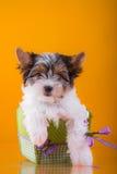 Il cucciolo York del terrier del castoro Fotografia Stock Libera da Diritti