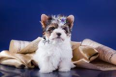 Il cucciolo York del terrier del castoro Fotografie Stock