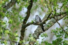 Il cuculo comune appollaiato su un albero fotografia stock libera da diritti