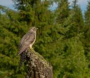Il cuculo dell'uccello di bambino si siede sul palo fotografia stock