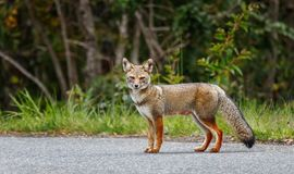 Il culpaeus di Lycalopex della volpe rossa, nella regione Cile dei laghi fotografie stock libere da diritti