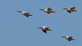 Il cuneo dei pellicani vola nel cielo blu Fotografia Stock