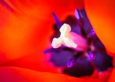 Il cuore di un tulipano Fotografia Stock Libera da Diritti