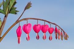 Il cuore ha modellato i fiori rosa e bianchi del cuore di emorragia Immagine Stock Libera da Diritti