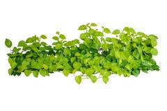 Il cuore ha modellato la vite gialla verde delle foglie, devil& x27; edera di s, potho dorato Fotografia Stock