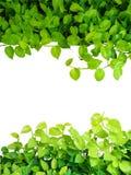 Il cuore ha modellato la vite gialla verde delle foglie, devil& x27; edera di s, potho dorato Fotografia Stock Libera da Diritti