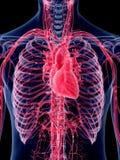 Il cuore umano illustrazione vettoriale
