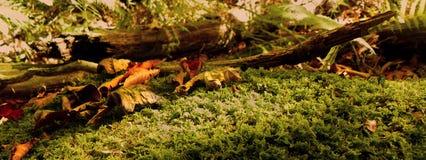 Il cuscino verde del muschio copre il pavimento della foresta Fotografie Stock
