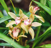 Il Cymbidium è un'orchidea sempreverde Fine in su immagine stock
