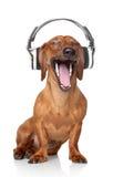 Il Dachshund ascolta musica Immagini Stock Libere da Diritti